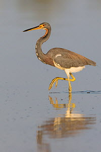 Tricolored Heron (Egretta tricolor), Chuburna, Yucatan Peninsula, Mexico, January  -  Claudio  Contreras