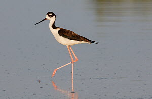 Black-necked Stilt (Himantopus mexicanus), Chuburna, Yucatan Peninsula, Mexico, January  -  Claudio  Contreras