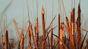 Greater bulrush (Typha latifolia) seed heads distributing seeds in the wind, Southern California, USA, November.  -  John Chan