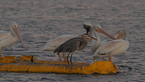 American white pelicans (Pelecanus erythrorhynchos) competing with a Great blue heron (Ardea herodias) for roosting spots on a floating boom, Southern California, USA, July. - John Chan