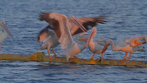 American white pelicans (Pelecanus erythrorhynchos) competing for roosting spots on a floating boom, Southern California, USA, July.  -  John Chan