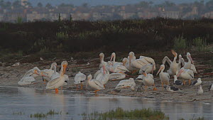 American white pelicans (Pelecanus erythrorhynchos) roosting and preening, Southern California, USA, July.  -  John Chan