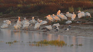 Flock of American white pelicans (Pelecanus erythrorhynchos) roosting, with a Black skimmer (Rynchops niger) feeding nearby, Southern California, USA, July. - John Chan