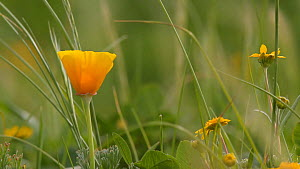 California poppy (Eschscholizia californica) in bloom, Southern California, USA, March.  -  John Chan