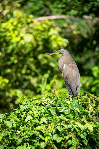 Bare-throated tiger heron (Tigrisoma mexicanum) Costa Rica.  -  Adrian Davies