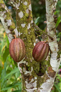 Cacao / Cocoa Tree (Theobroma cacao) with seed pods, Costa Rica. - Adrian Davies