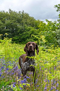 German Short-haired Pointer amongst ferns and bluebells,  -  David Pike