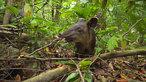 Juvenile Baird's tapir (Tapirus Bairdii) in rainforest, Corcovado National Park, Costa Rica. - Laurie Hedges
