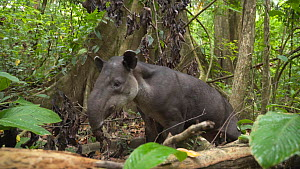 Slow motion shot of a female Baird's tapir (Tapirus bairdii) scratching on a tree root, Corcovado National Park, Costa Rica. - Laurie Hedges
