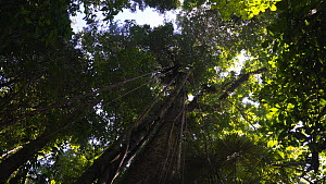 Panning shot looking up at rainforest canopy, Corcovado National Park, Costa Rica, 2019.  -  Laurie Hedges