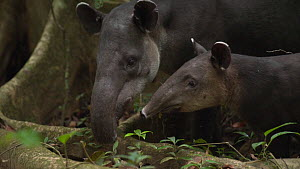 Slow motion shot of a female Baird's tapir (Tapirus bairdii) with baby, Corcovado National Park, Costa Rica. - Laurie Hedges