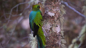 Resplendent quetzal (Pharomachrus mocinno) hollowing out nesting cavity in Talamanca highlands, Costa Rica. - Laurie Hedges