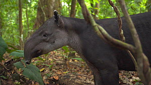 Slow motion shot of a Baird's tapir (Tapirus bairdii) in rainforest, Corcovado National Park, Costa Rica. - Laurie Hedges