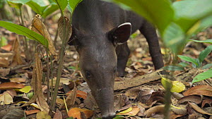 Slow motion shot of a juvenile Baird's tapir (Tapirus bairdii) feeding on leaves, Corcovado National Park, Costa Rica. - Laurie Hedges