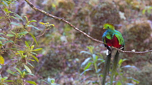 Resplendent quetzal (Pharomachrus mocinno) perching on branch, showing full breeding plumage, Cordillera de Talamanca, Costa Rica. - Laurie Hedges