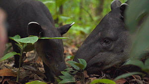 Slow motion shot of a female Baird's tapir (Tapirus bairdii) feeding on leaves with baby, Corcovado National Park, Costa Rica.  -  Laurie Hedges