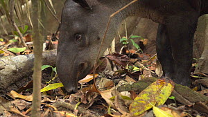 Slow motion shot of a female Baird's tapir (Tapirus bairdii) feeding, Corcovado National Park, Costa Rica. - Laurie Hedges