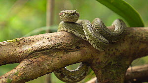 Eyelash viper (Bothriechis schlegelii) on a branch, Volcan Tenorio National Park, Costa Rica.  -  Laurie Hedges