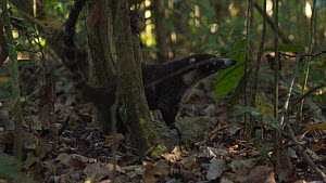 Slow motion shot of a White-nosed coati (Nasua narica) foraging in rainforest, Corcovado National Park, Costa Rica. - Laurie Hedges