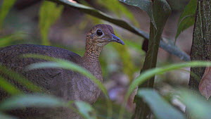 Great tinamou (Tinamus major) in rainforest, Corcovado National Park, Costa Rica. - Laurie Hedges