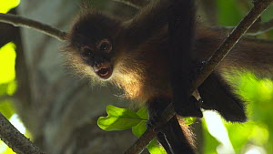 Close up of a Geoffroy's spider-monkey (Ateles geoffroyi) grooming and hanging from branch in rainforest, Corcovado National Park, Costa Rica.  -  Laurie Hedges