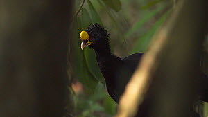 Slow motion tracking shot of a male Great curassow (Crax rubra) walking through rainforest in Corcovado National Park, Costa Rica. - Laurie Hedges