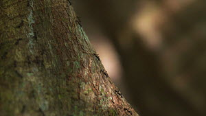 Slow motion tracking shot of army ants (Eciton) walking in column down a tree trunk, Corcovado National Park, Costa Rica. - Laurie Hedges