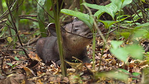 Slow motion shot of a juvenile Baird's tapir (Tapirus bairdii) resting in foliage, Corcovado National Park, Costa Rica.  -  Laurie Hedges