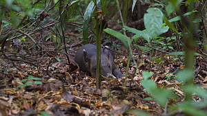Juvenile Baird's tapir (Tapirus bairdii) resting in foliage, Corcovado National Park, Costa Rica. - Laurie Hedges