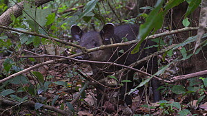 Juvenile Baird's tapir (Tpirus bairdii) in rainforest, Corcovado National Park, Costa Rica. - Laurie Hedges