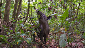 Female Baird's tapir (Tapirus bairdii) walking with baby in rainforest, Corcovado National Park, Costa Rica. - Laurie Hedges