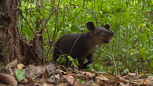 Slow motion shot of a Baird's tapir (Tapirus bairdii) baby in rainforest, Corcovado National Park, Costa Rica. - Laurie Hedges