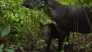 Female Baird's tapir (Tapirus bairdii) feeding on leaves in rainforest with baby, Corcovado National Park, Costa Rica. - Laurie Hedges
