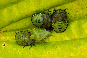 Green shield bug (Palomena prasina) adult and nymphs, Castlewellan Forest Park, County Down, Northern Ireland, UK - John Cancalosi