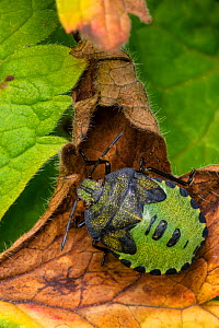 Green shield bug (Palomena prasina) nymph, Castlewellan Forest Park, County Down, Northern Ireland, UK  -  John Cancalosi