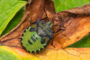 Green shield bug (Palomena prasina), Castlewellan Forest Park, County Down, Northern Ireland, UK  -  John Cancalosi