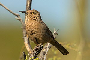 Curve-billed thrasher (Toxostoma curvirostre), Sonoran desert, Arizona, USA.  -  John Cancalosi