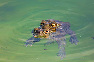 Sonoran desert toads (Incilius alvarius), pair in amplexus, Sonoran desert, Arizona, USA.  -  John Cancalosi