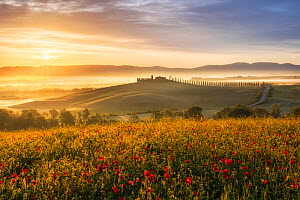Sunrise over the Val d'Orcia, with Field poppies (Papaver rhoeas) Tuscany, Italy, May.  -  Guy Edwardes