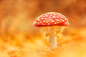 Fly agaric (Amanita muscaria), New Forest National Park, Hampshire, England, UK  -  Guy Edwardes