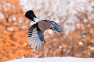 Eurasian Jay (Garrulus glandarius), Bulgaria, January.  -  Guy Edwardes