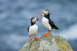 Puffin (Fratercula arctica), Isle of May, Firth of Forth, Fife, Scotland - Guy Edwardes