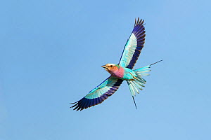 Lilac-breasted Roller (Coracias caudata) in flight with blue sky, Kruger National Park, South African National Park, Africa.  -  Guy Edwardes