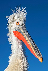 Dalmatian pelican (Pelecanus crispus), Lake Kerkini, Greece  -  Guy Edwardes