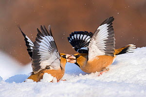Hawfinch (Coccothraustes coccothraustes) fighting in snow, Bulgaria - Guy Edwardes