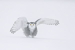 Snowy Owl (Bubo scandiacus) female on ground in snow with wings spread, Ontario, Canada  -  Guy Edwardes