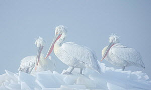 Dalmatian pelicans (Pelecanus crispus)  on ice, Lake Kerkini, Greece  -  Guy Edwardes