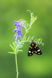 Scarlet tiger moth (Callimorpha dominula), Powerstock Common, Dorset, England, UK, June.  -  Guy Edwardes