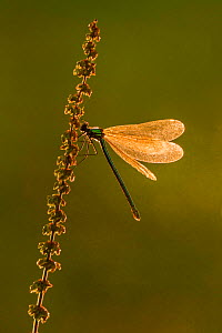 Beautiful Demoiselle (Calopteryx virgo), Marshwood Vale, Dorset, England, UK, June. - Guy Edwardes