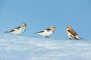 Snow bunting (Plectrophenax nivalis) group of three in snow, Ontario, Canada, January.  -  Guy Edwardes